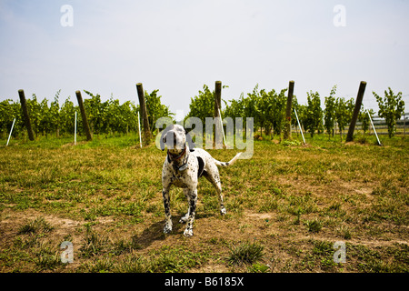 A dalmatian guards the grapes at the White Fences Vineyard in Irvington, VA on Wednesday, July 4, 2007. - Stock Photo
