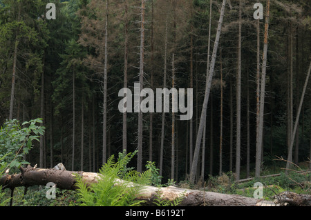 Monoculture forest, cutting, windthrow, coniferous forest - Stock Photo