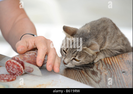 Young grey tabby cat looking on greedily as salami is sliced - Stock Photo