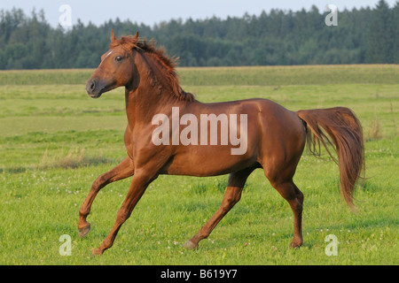 Lusitano horse stallion in the paddock in the evening - Stock Photo