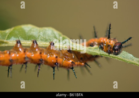 Agraulis vanillae Gulf fritillary caterpillar feeding on passionflower leaf - Stock Photo