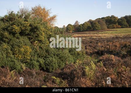 Heathland vegetation and scenery Shottisham Suffolk England - Stock Photo