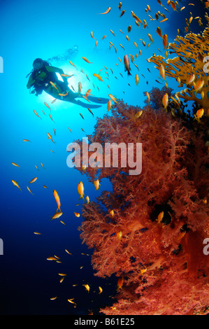 Dendronephthya klunzingeri Pseudanthias squamipinnis soft coral and scuba diver and Lyratail anthias, Red Sea - Stock Photo