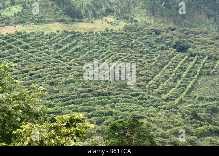 Coffee plantation or finca in the mountains of western El Salvador, Central America - Stock Photo