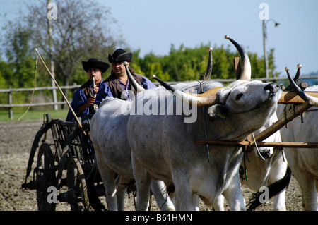 Hungary,  chicos cowboy driving a cart pulled by Hungarian Gray or Steppe Cattle at a farm in the Puszta near Kalocsa - Stock Photo