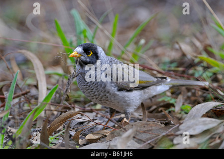 Noisy Miner (Manorina melanocephala) looking for nest material, Warrumbungle National Park, Australia - Stock Photo