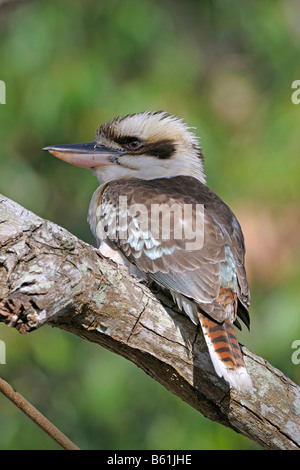Laughing Kookaburra (Dacelo novaeguineae), Queensland, Australia - Stock Photo