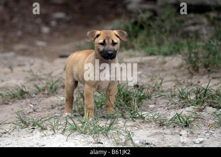 Dingo or Warrigal (Canis lupus dingo), puppy, Fraser Island, Queensland, Australia - Stock Photo