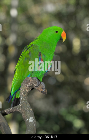 Eclectus Parrot (Eclectus roratus), male, Queensland, Australia - Stock Photo