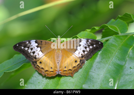Cruiser Butterfly (Vindula arsinoe), female, Queensland, Australia - Stock Photo