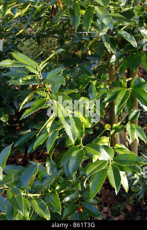 ILEX X KOEHNEANA CHESTNUT LEAF AGM - Stock Photo