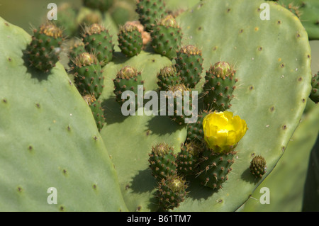 Indian Fig Opuntia Cactus (Opuntia ficus-indica) with a yellow flower - Stock Photo