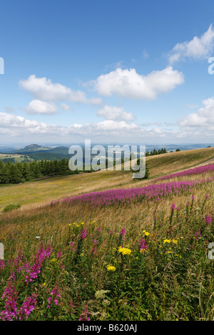 View from the Wasserkuppe plateau, lookin northwest, with the pink blossoms of Fireweed or Rosebay Willowherb (Epilobium - Stock Photo