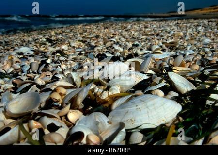 Shells covering the beach on Hiddensee Island, Mecklenburg-Western Pomerania, Germany, Europe - Stock Photo