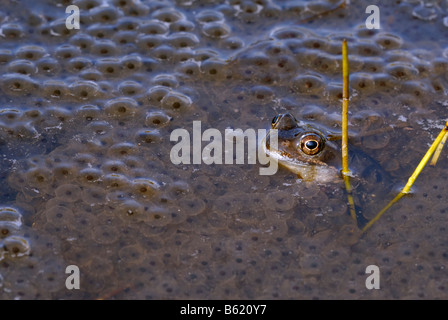 Common Frog or European Common Frog (Rana temporaria) in the middle of lots of frog spawn - Stock Photo