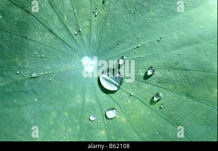 Sacred Lotus (Nelumbo nucifera). Water forming droplets on the surface of a leaf, the so- called lotus effect - Stock Photo