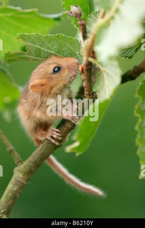 Hazel Dormouse (Muscardinus avellanarius), pup - Stock Photo