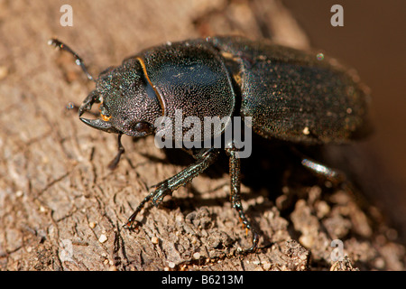 Lesser Stag Beetle (Dorcus parallelipipedus) - Stock Photo