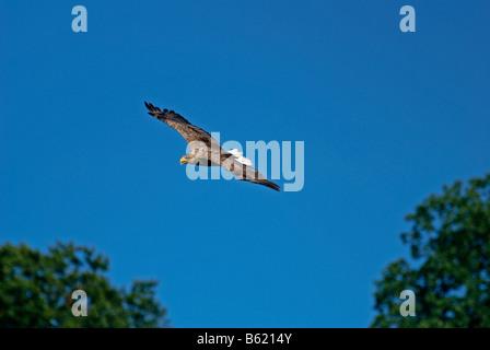 White-tailed Eagle, Sea Eagle or Erne (Haliaeetus albicilla) Stock Photo