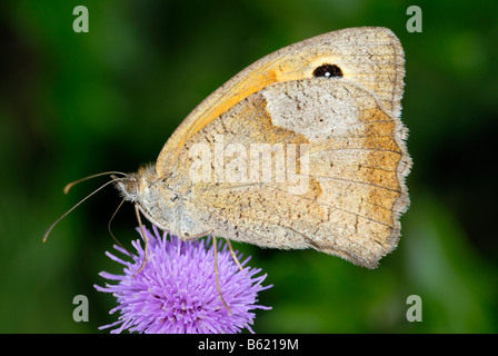 Meadow Brown (Maniola jurtina) on a blossom - Stock Photo
