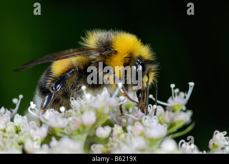 Buff-tailed Bumblebee (Bombus terrestris) on a blossom - Stock Photo