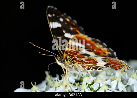 Red Admiral (Vanessa atalanta) on a blossom - Stock Photo