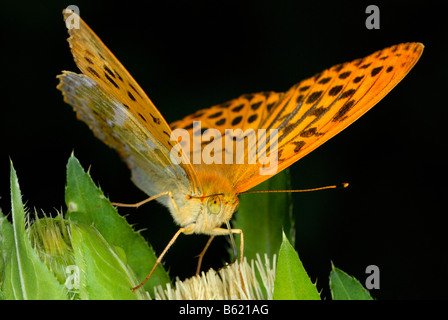 Silver-washed Fritillary (Argynnis paphia) on a blossom - Stock Photo