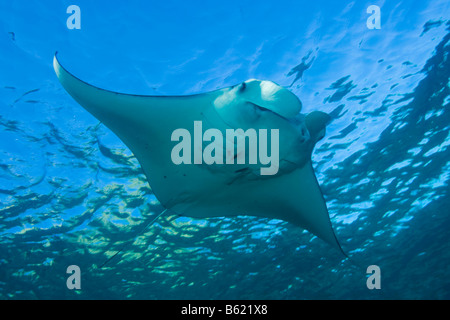 Manta Ray (Manta birostris), Indonesia, South East Asia - Stock Photo
