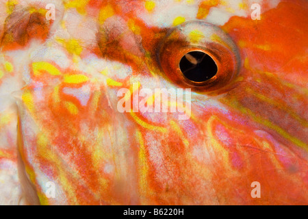 Eye of a Striped Red Mullet (Mullus surmuletus), Indonesia, South East Asia - Stock Photo