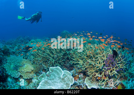 Colourful coral reef, scuba-diver, Indonesia, South East Asia - Stock Photo