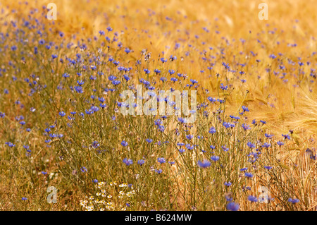 Cornflowers at the edge of a cornfield, Rhena, Mecklenburg-Western Pomerania, Germany, Europe - Stock Photo