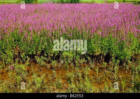 Purple-loosestrife (Lythrum salicaria) growing in a carp pond, Grossbellhofen, Middle Franconia, Bavaria, Germany, - Stock Photo