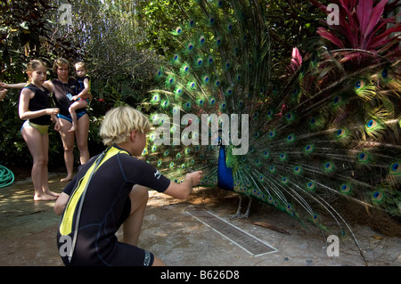 Boy feeding a Peacock (Pavo cristatus), Discovery Cove, Orlando, Florida, USA, North America - Stock Photo