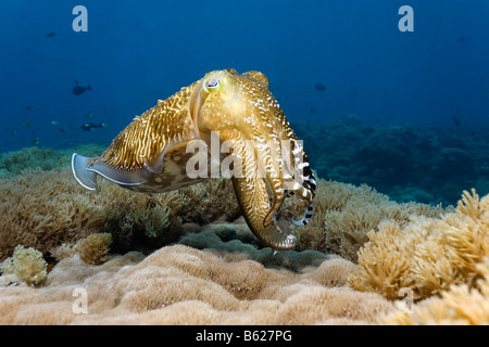 Common Cuttlefish (Sepia officinalis) in a coral reef, Selayar Island, West coast, South Sulawesi, Indonesia, Java - Stock Photo