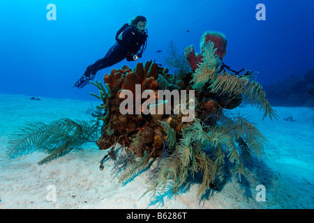 Diver looking at a small block of coral with various sponges and corals on a sandy seafloor, Halfmoon Caye, Lighthouse - Stock Photo