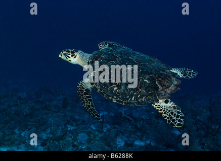 Genuine Hawksbill Turtle (Eretmochelys imbricata) swimming in blue water high above a coral reef, Hopkins, Dangria, - Stock Photo