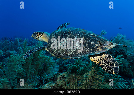Genuine Hawksbill Turtle (Eretmochelys imbricata) in a coral reef, Turneffe Atoll, Belize, Central America, Caribbean - Stock Photo