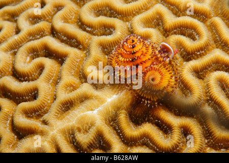 Christmas Tree Worm (Spirobranchus giganteus), Symmetrical Brain Coral (Diplora strigosa), Barrier Reef, San Pedro, - Stock Photo