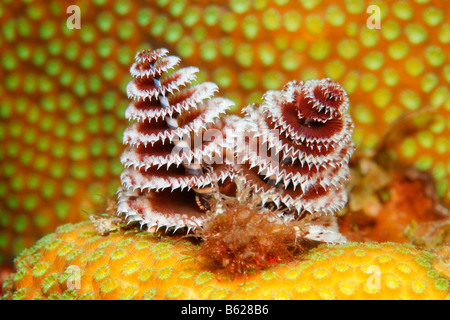 Christmas Tree Worm (Spirobranchus giganteus) settle on a stony coral, Barrier Reef, San Pedro, Ambergris Cay Island, - Stock Photo