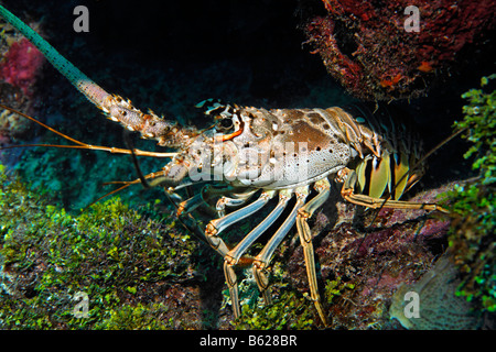 Caribbean spiny lobster (Panulirus argus) scampers across ...