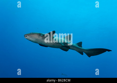 Nurse Sharks (Ginglymostoma cirratum) swimming through blue water, barrier reef, San Pedro, Ambergris Cay Island, - Stock Photo