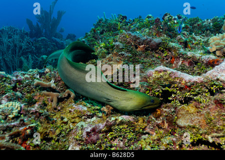 Green Moray (Gymnothorax funebris), an eel, searching every crevice in a coral reef for prey, also Halimeda Algae - Stock Photo