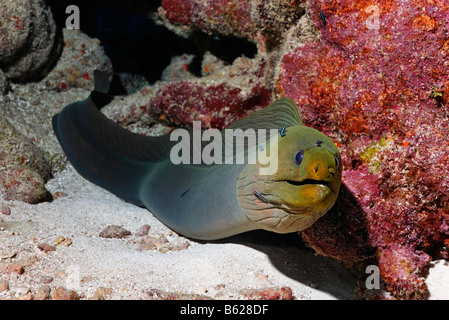 Green Moray (Gymnothorax funebris), an eel, looking inquisitively out of its hole in the coral reef, barrier reef, - Stock Photo