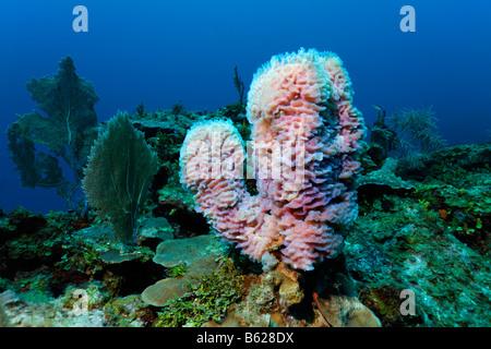 Callyspongia Plicifera The Azure Vase Sponge Is A Species Of