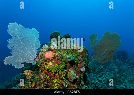 Coral reef or barrier reef alive with Sea Fan coral (Gorgonia flabellum), Halimeda Algae (Halimeda s.) and a variarty - Stock Photo