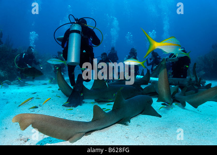 Scuba divers amongst a school of Nurse Sharks (Ginglymostoma cirratum) lying on the sandy ocean after having been - Stock Photo