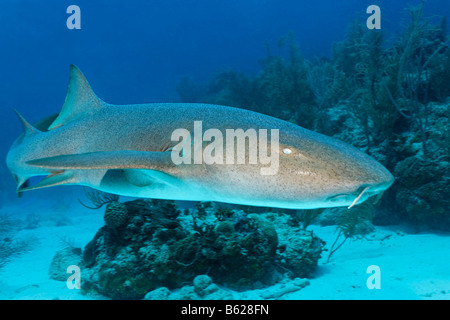 Nurse Sharks (Ginglymostoma cirratum) swimming amongst the coral reef in search of prey, barrier reef, San Pedro, Ambergris Cay