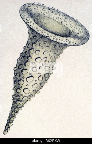 Ciliata / Wimperlinge, Name Stentor, Haeckel, Kunstformen der Natur, art nouveau, 20th century, Europe - Stock Photo