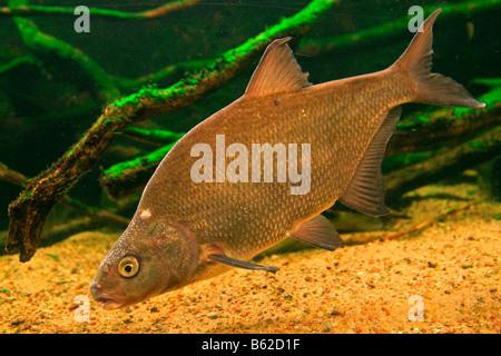 Carp Bream (Abramis brama) in an aquarium in the Mueritzeum, Germany's largest aquarium for native freshwater fish, - Stock Photo
