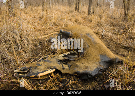 carrion Impala die dying of thirst carcass cadaver in the savannah  savanna south-africa dead water shortage corruption - Stock Photo